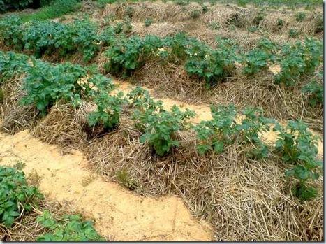 Выращивание картофеля под